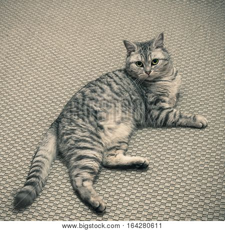 the british cat; lies on the carpet