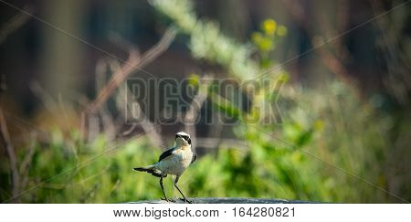 the chat (wheatear) bird (the Oenanthe isabellina)
