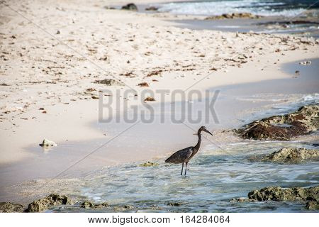 Mexican heron bird at the beach del carmen in Yucatan