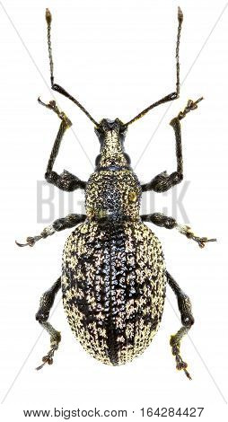 Weevil Otiorhynchus corruptor on white Background - Otiorhynchus corruptor (Host 1789)