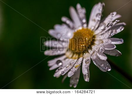 A close up macro of a Daisy flower with water droplets