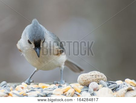 Tufted Titmouse perched on a birdfeeder looking down.