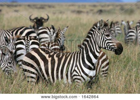 Zebra Serengeti Tansania