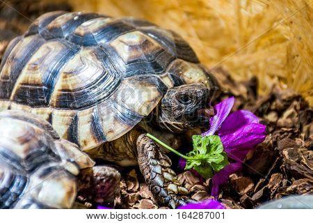Turtle Testudo Marginata the european landturtle eating 2