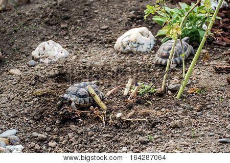 Turtle Testudo Marginata the european landturtle eating 8