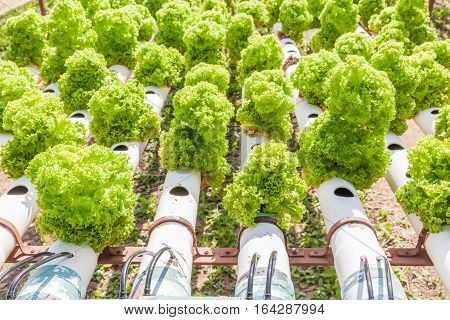 Close up planting of Hydroponics green vegetables hydroponics farm of growing vegetables using nutrient solutions in water without soil.