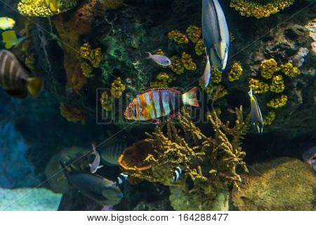 Clownfish, anemonefish, Amphiprioninae) and other fishes on dark background