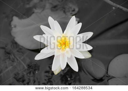 Picture of the Nymphaea alba White Waterlily. Muskoka. Canada.