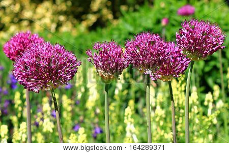 A Bed of Purple Allium in full bloom growing against a natural green bush background