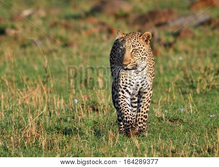 Isolated African Leopard strolling towards the camera while on the masai mara in Kenya, Eastern Africa