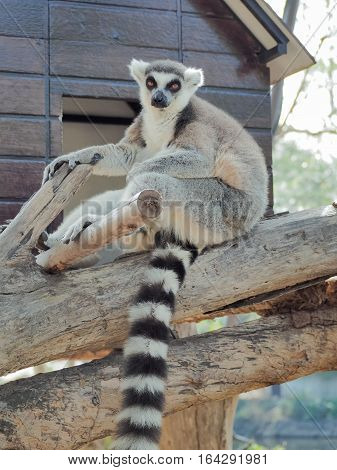 Ring-Tailed Lemur (Lemur catta) Outdoor Shot  in the zoo