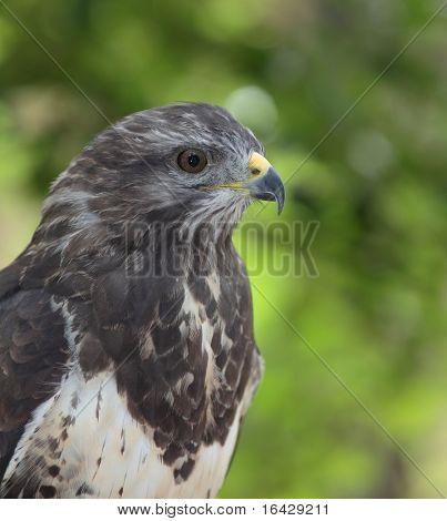 Close-up view of a majestic common buzzard  (Buteo buteo) poster