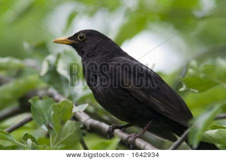Male Blackbird Close-Up