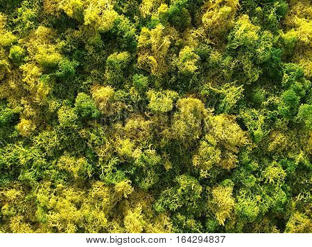 Indoor grown moss plants.  Green and Yellow moss background.