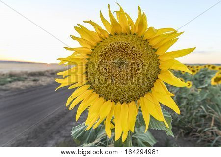 Close up of a sunflower at sunset, in outback Australia