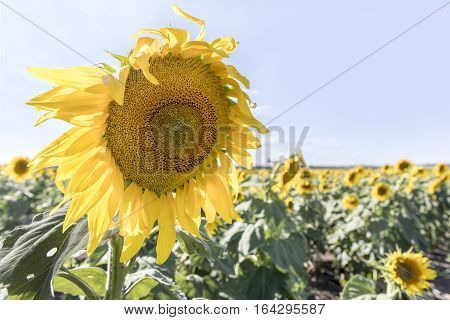 Close up of sunflower and field on a sunny day, in outback Australia