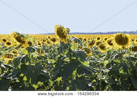 Sunflowers basking in a field on a sunny day, in outback Australia