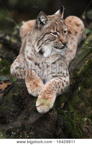 Close-up portrait of resting Eurasian Lynx (Lynx lynx) poster