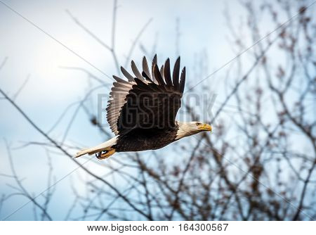 Bald Eagle flying through trees in Maryland