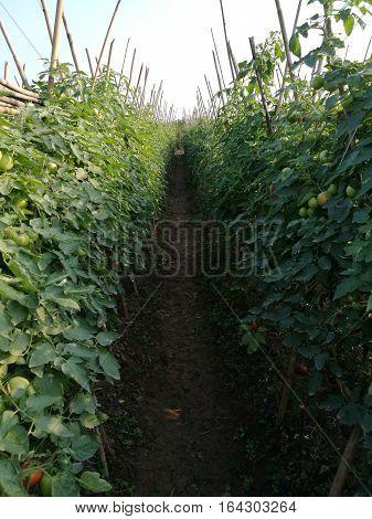 Green organic tomato field on the line