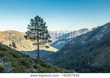 A lone Pine tree standing in the mountains near Mausoleo above the Tartagine Valley in the Balagne region of Corsica