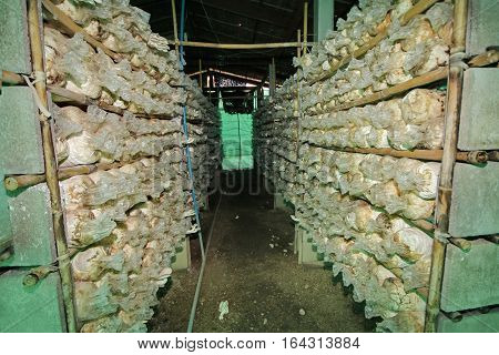Cultivation Of Grey Oyster Mushroomหง From Spawn In Farm.
