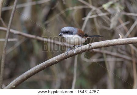 Burmese Shrike Lanius collurioides Birds of Thailand