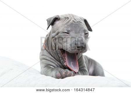 One month old thai ridgeback puppy dog in orange collar lying on pillow and yawning. Isolated on white. Copy space.