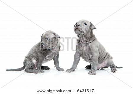 One month old thai ridgeback puppy dogs sitting. Isolated on white. Copy space.