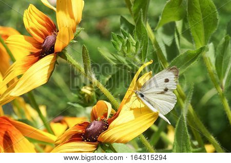 Cabbage white butterfly or white cabbage (lat. Pieris brassicae) on flower of rudbeckia