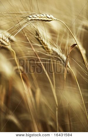 Ears of ripe barley ready for harvest growing in a farm field