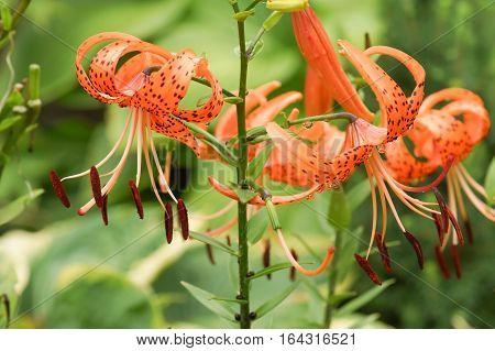 orange  flowers Lilium tigrinum (L.lancifolium) in the garden