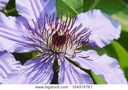 The fluffy stamens of a flower climbing plant Clematis General Sikorski