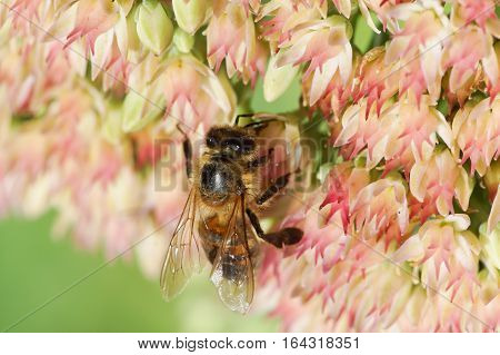 The bee (lat. Anthophila) crawling on the flowers of Sedum prominent (lat. Hylotelephium spectabile, Sedum spectabile otherwise)