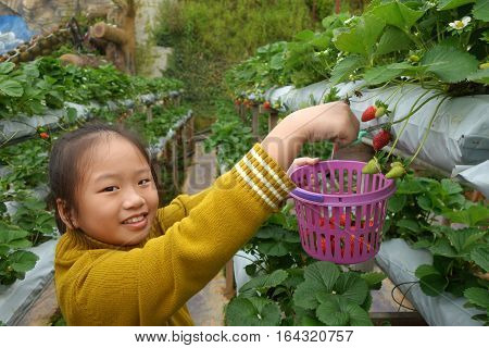 CAMERON HIGHLANDS MALAYSIA- 30 DEC 2016: Young girl picking strawberries in the farm at Camaron Highlands Malaysia.