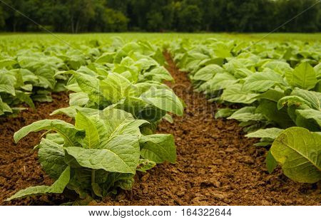 Young tobacco plants in July. Focus is on front plants and shows the well cultivated loose soil.