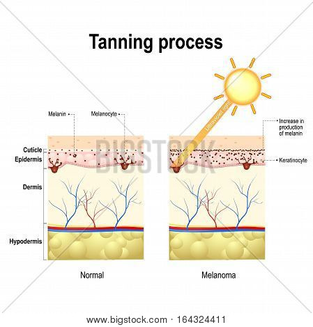 Tanning process. When ultraviolet light waves touch melanocytes they begin to increase the production of melanin. The skin becomes dark color