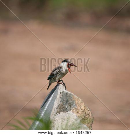 Kingfisher Masai Mara Kenia