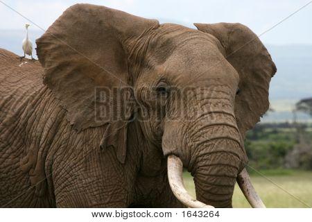 Afrikanische Elefanten Amboseli-Kenia