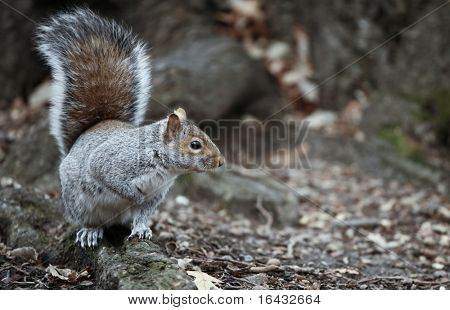 Cute squirrel in the Central Park, NYC poster