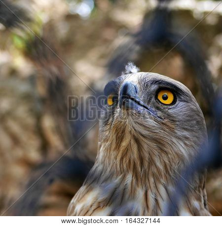 A Short-Toed Snake Eagle looks up through fence (Circaetus gallicus)