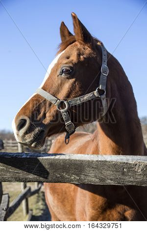 Beautiful curious purebred warmblood stallion looking over corral fence. Check out my another equine photos please