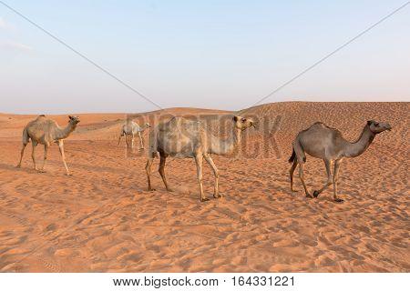 Camels in the Dubai Desert United Arab Emirates