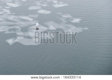 Sea Gull Bird Standing On Ice Floe  -