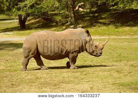 A White Rhinoceros Latin name Cerathotherium simum