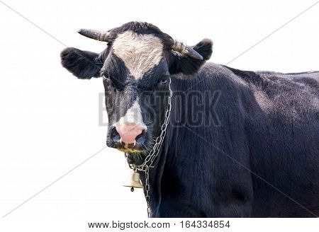 cow with a bell on a white background