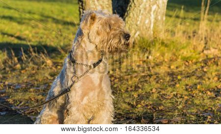 Irish Softcoated Terrier Siting In Autumn Sunset