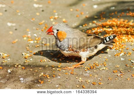 Male Zebra finches (lat. Taeniopygia guttata) is a bird of the family of finches weaverbirds