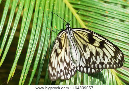 Graceful tropical butterfly Idea white (Rice paper) or wood Nymph (lat. Idea leuconoe) on palm leaf