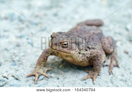 Earth Toad. A Big old toad walking over a gravel road.